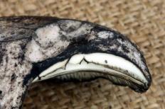 Подгруздок бело-черный (Russula albonigra)