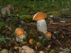 Подосиновик дубовый (Leccinum quercinum)
