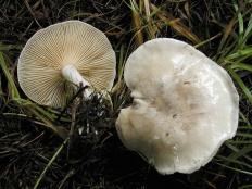 Подвишень (Clitopilus prunulus)