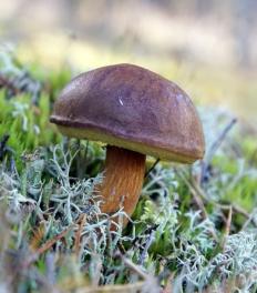 Польский гриб (Boletus badius)