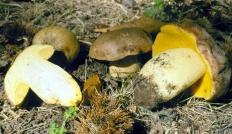 Полубелый гриб (Boletus impolitus)