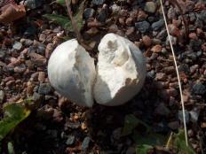 Порховка чернеющая (Bovista nigrescens)