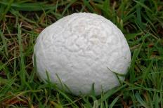 Порховка свинцово-серая (Bovista plumbea)