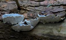 Постия голубовато-серая (Postia caesia)