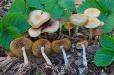 Псилоцибе синеющая (Psilocybe cyanescens)