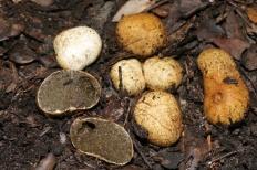 Ризопогон желтоватый (Rhizopogon luteolus)