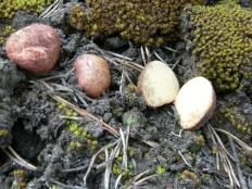 Ризопогон розоватый (Rhizopogon roseolus)