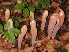 Рогатик пестиковый (Clavariadelphus pistillaris)
