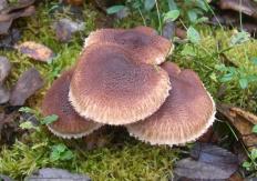 Рядовка бородатая (Tricholoma vaccinum)