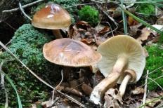 Рядовка жёлто-бурая (Tricholoma fulvum)