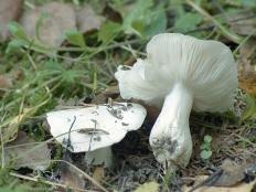 Рядовка голубиная (Tricholoma columbetta)