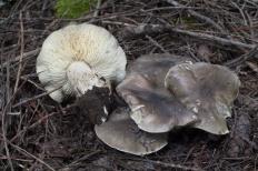 Рядовка мыльная (Tricholoma saponaceum)