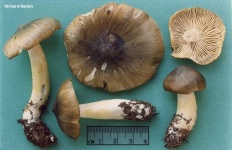 Рядовка обособленная (Tricholoma Sejunctum)