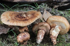 Рядовка обутая (Tricholoma caligatum)