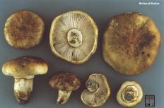 Рядовка перевязанная (Tricholoma Focale)