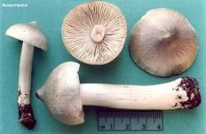 Рядовка заостренная (Tricholoma virgatum)