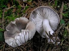 Рядовка землисто-серая (Tricholoma terreum)