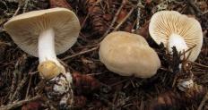 Рядовка вонючая (Tricholoma Inamoenum)