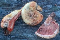 Рыжик красный (Lactarius sanguifluus)