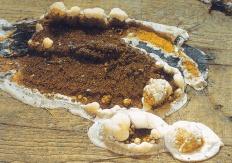 Серпула плачущая (Serpula lacrymans)