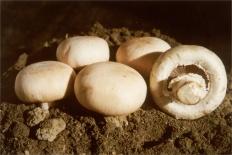 Шампиньон двуспоровый (Agaricus bisporus)