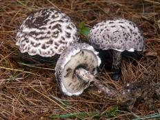 Шишкогриб хлопьеножковый (Strobilomyces floccopus)