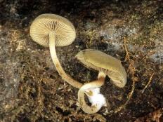 Симоцибе лоскутная (Simocybe centunculus)