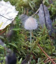 Спинеллус щетинистый (Spinellus fusiger)