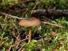 Стробилюрус съедобный (Strobilurus esculentus)