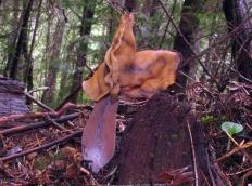 Строчок осенний (Gyromitra infula)