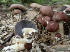Строфария морщинисто-кольцевая (Кольцевик) (Stropharia rugoso-annulata)