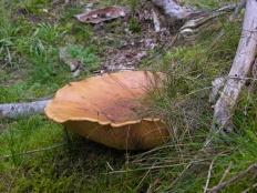 Свинушка толстая (Paxillus atromentosus)
