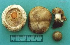 Свинушка тонкая (Paxillus involutus)