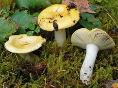 Сыроежка желтая (Russula claroflava)