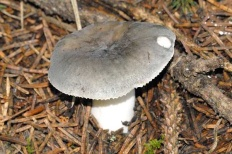 Сыроежка синяя (Russula azurea)