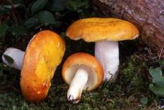 Сыроежка золотисто-красная (Russula aurata)