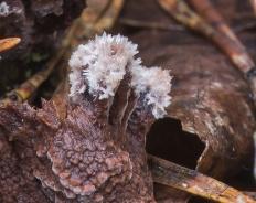 Телефора кисточковая (Thelephora penicillata)