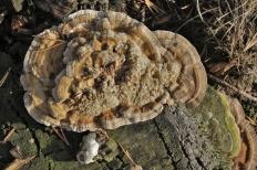 Траметес охряный (Trametes ochracea)