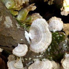 Траметес пушистый (Trametes pubescens)