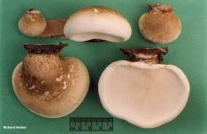 Трутовик берёзовый (Piptoporus betulinus)