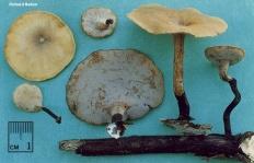Трутовик изменчивый (Polyporus varius)