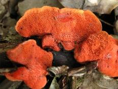 Трутовик киноварно-красный (Pycnoporus cinnabarinus)