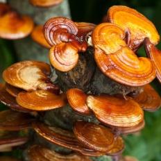 Трутовик лакированный (Гриб Рейши) (Ganoderma lucidum)