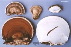 Трутовик плоский (Ganoderma applanatum)