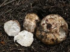 Трюфель белый (Choiromyces meandriformis)