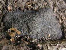 Трюфель чёрный (Tuber melanosporum)
