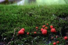 Тубифера ржавая (Tubifera ferruginosa)