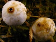 Тулостома зимняя (Tulostoma brumale)