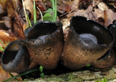 Урнула бокаловидная (Urnula craterium)