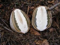 Весёлка обыкновенная (Phallus impudicus)